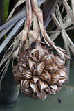 A globular fruit cluster of the nipa palm Stock Photos