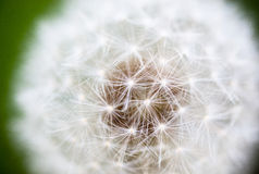 Globular head of seeds with downy tufts of the dandelion flower Royalty Free Stock Photo