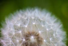 Globular head of seeds with downy tufts of the dandelion flower stock images