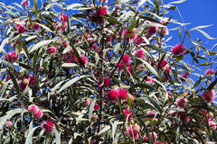 Globular spiky flower of hakea laurina. Royalty Free Stock Image