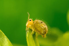 Globular Springtail Royalty Free Stock Image