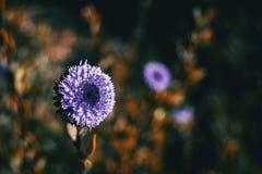globularia alypum一朵淡紫色花的特写镜头与日落ligh的 免版税库存图片