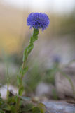 Globularia flower, wildflower, Apennines, Italy. Stock Photography