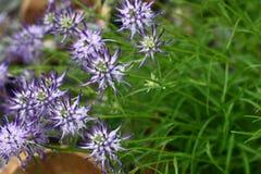 Globularia in a garden. Stock Photos