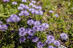 Globulariacordifolia in de bergen stock foto