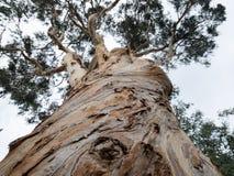 Globus d'eucalyptus, vieil arbre Photos libres de droits