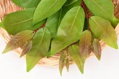 Glochidion Perakense Hook. F., Leaves. Royalty Free Stock Photo