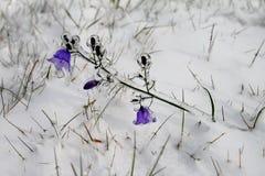 Glockenblume abgedeckt mit Eis Stockfoto