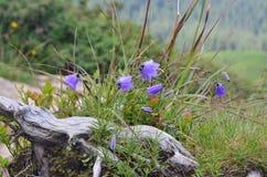 Glockenblume alpina Lizenzfreie Stockfotos