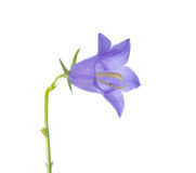 Glockenblume auf einem weißen Hintergrund, Nahaufnahme Lizenzfreie Stockfotos