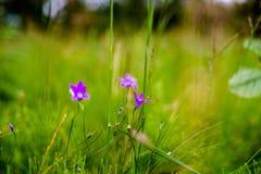 Glockenblume-Blumen Lizenzfreie Stockbilder