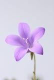 Glockenblume in einer Wiese Stockfoto