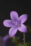 Glockenblume in einer Wiese Stockfotografie