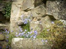 Glockenblume, Glockenblume rotundifolia Stockfoto