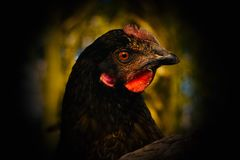 Glockenblume Hen Close Up Stockfoto