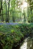 Glockenblume-Holz Lizenzfreies Stockfoto