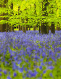 Glockenblume-Holz stockfoto