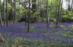 Glockenblume-Holz im Frühjahr stockfotos