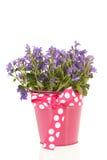 Glockenblume im Blumentopf Lizenzfreies Stockbild