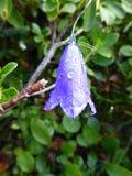 Glockenblume im Gebirgswald mit Tau Stockbild