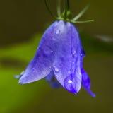Glockenblume mit Regentropfen Stockbilder