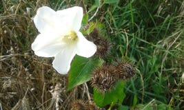 Glockenblume persicifolia Stockfotos