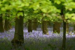 Glockenblume-Teppich Lizenzfreie Stockfotografie