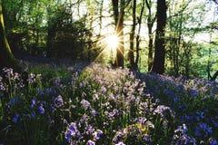 Glockenblume-Wiesen lizenzfreies stockbild