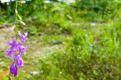Glockenblumeblume Lizenzfreies Stockbild