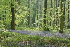 Glockenblumefrühling Stockbilder