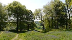 Glockenblumeholz in England Stockfoto