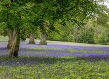 Glockenblumen in der Wiese und im Waldland lizenzfreie stockbilder