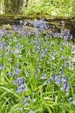 Glockenblumen, die in einem Northumberland-Waldland, Großbritannien blühen lizenzfreies stockbild