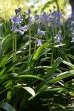 Glockenblumen, die im Sonnenlicht blühen Lizenzfreie Stockfotografie