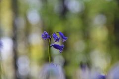 Glockenblumen in einem Wald von Belgien stockbilder