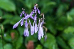 Glockenblumen-Glockenblume carpatica im Garten Lizenzfreie Stockfotos