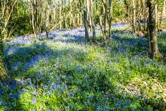 Glockenblumen im Vorderholz, Crowhurst, East Sussex, England stockfotos