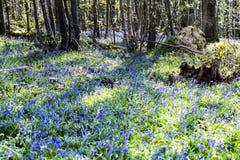 Glockenblumen im Vorderholz, Crowhurst, East Sussex, England lizenzfreies stockfoto