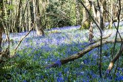 Glockenblumen im Vorderholz, Crowhurst, East Sussex, England stockfotografie