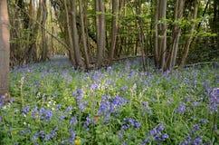 Glockenblumen im Wald Lizenzfreie Stockfotos