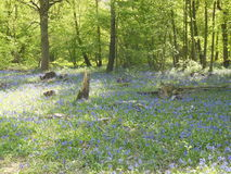 Glockenblumen im Wald Lizenzfreie Stockbilder