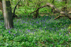 Glockenblumen im Wald im Frühjahr Lizenzfreie Stockfotos
