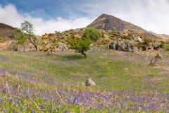 Glockenblumen und Whiteless Pike bei Rannerdale im englischen See D Lizenzfreie Stockfotos