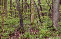 Glockenblumen und Wildflowers im Holz eines Frühjahres stockbilder