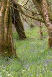 Glockenblumen zeichnen den Waldboden stockbild