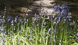 Glockenblumenahaufnahme gegen verfallenden Baum lizenzfreie stockfotografie