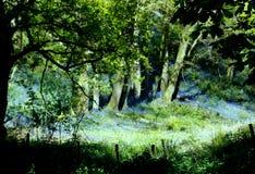 Glockenblumewald Stockfotografie
