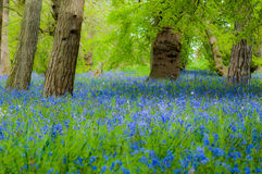 Glockenblumewaldland im Frühjahr Stockbilder