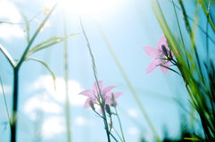 Glockenblumewiese lizenzfreie stockfotografie