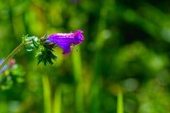 Glockenförmige purpurrote Blume Stockbild